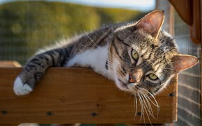 Picture cat, cat, look, light, pose, grey, paw, lies, striped, green eyes