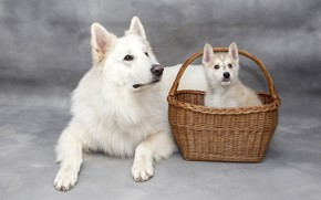 Picture dogs, look, basket, two, dog, baby, puppy, lies, white, grey background, a couple, basket, Duo, …
