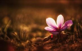 Picture flower, the dark background, lilac, spring, petals, Krokus