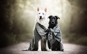 Picture dogs, scarf, friends