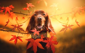 Picture autumn, look, face, leaves, branches, background, dog