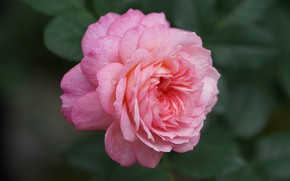 Picture macro, close-up, pink, rose