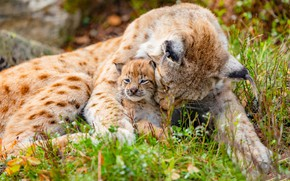 Picture pose, lynx, care, lynx, mom, a small lynx