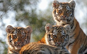 Picture kittens, wild cats, tigers, trio, the cubs, cubs, Trinity