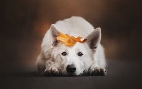 Picture autumn, look, face, background, leaf, portrait, dog, lies, white, Swiss shepherd dog