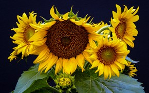 Picture leaves, sunflowers, flowers, close-up, the dark background, bouquet, yellow