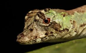 Picture look, face, macro, lizard, black background, iguana, reptile