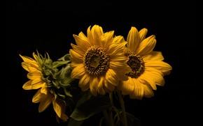 Picture sunflowers, three, the dark background