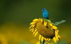 Picture nature, bird, sunflower