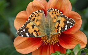 Picture flower, macro, butterfly, petals, Dahlia, The painted lady