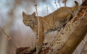 Picture look, branches, log, lynx, wild cat
