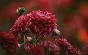 Picture flowers, buds, dahlias