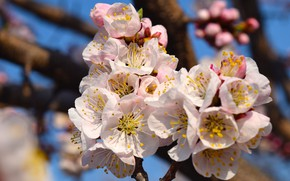 Picture spring, blooms, apricot, flowers spring