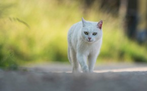Picture road, cat, white, grass, cat, look, face, yellow, nature, pose, background, paws, white, walk, bokeh, ...