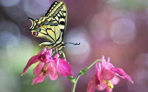 Picture flower, macro, nature, butterfly, bokeh, swallowtail, Aquilegia