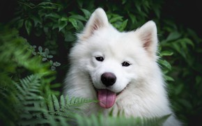 Picture greens, language, summer, look, face, leaves, nature, background, thickets, foliage, portrait, dog, puppy, white, fern, …
