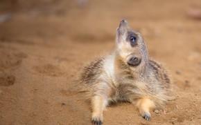 Picture sand, look, pose, background, legs, lies, face, looking up, meerkat, meerkat