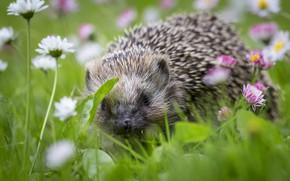 Picture grass, flowers, chamomile, blur, muzzle, hedgehog, hedgehog, bokeh, Daisy, hedgehog, hedgehog