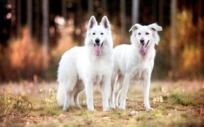 Picture autumn, forest, language, dogs, trees, nature, pose, Park, background, two, pair, white, a couple, Duo, …