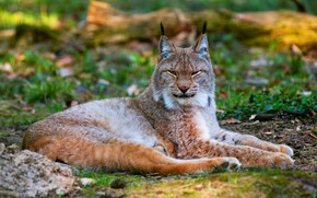 Picture cat, look, lies, blurred, paws, background, nature, face, lynx, narrowed, grass, wild cat