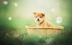 Picture background, basket, dog, bubbles, puppy, Shiba inu