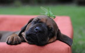 Picture dog, puppy, grasshopper