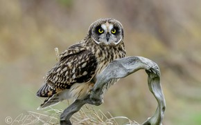 Picture nature, background, owl, bird, branch