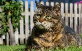 Picture grass, cat, look, face, light, grey, the fence, portrait, striped