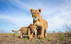 Picture the sky, lioness, lion
