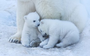 Picture bear, white, kids