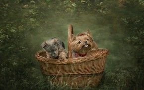 Picture dogs, basket, friends