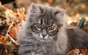 Picture cat, cat, leaves, kitty, grey, portrait, glasses, lies, face, British, bokeh, autumn leaves, cat scientist