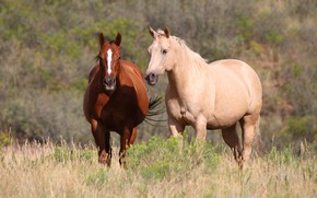 Picture field, summer, grass, nature, horse, horse, two, horses, horse, pair, two horses