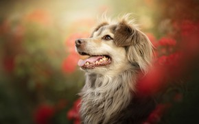 Picture face, portrait, dog, bokeh