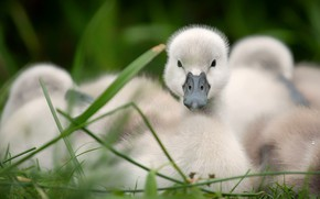 Picture grass, look, birds, nature, comfort, stay, glade, Swan, kids, company, chick, Chicks, brood, the Lebeda, …
