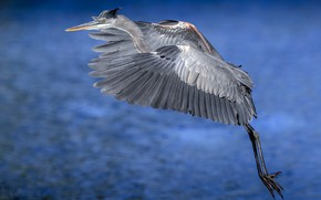 Picture nature, bird, Great blue Heron