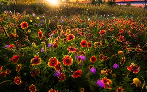 Picture field, summer, flowers, glade, meadow, red, bright, gaylardiya