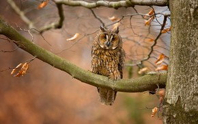Picture autumn, look, leaves, branches, nature, background, tree, owl, bird, owl, motley