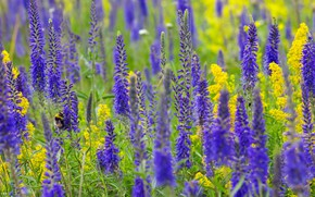 Picture field, summer, flowers, Veronica, yellow, insect, bumblebee, field, a lot, lilac