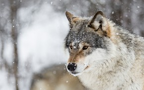 Picture winter, look, face, snow, nature, grey, wolf, portrait, snowfall, bokeh, it covered
