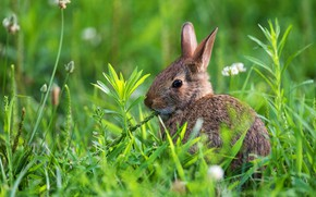 Picture greens, summer, grass, nature, grey, hare, baby, Bunny, hare