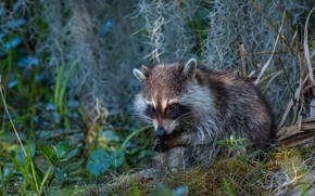 Picture grass, look, face, nature, pose, background, thickets, legs, raccoon