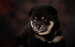Picture background, puppy, face, doggie, Lana Polyakova