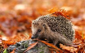 Picture autumn, leaves, needles, background, foliage, stone, yellow, muzzle, hedgehog, spout, red, orange, hedgehog, hedgehog, hedgehog, ...
