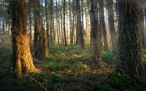 Picture forest, trees, nature, morning