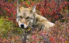 Picture look, wolf, autumn