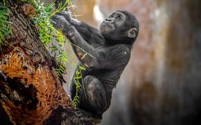 Wallpaper baby, cub, gorilla