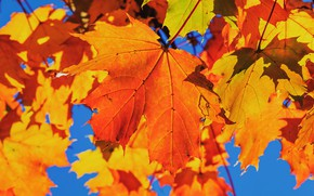 Picture autumn, leaves, blue, bright, maple, the colors of autumn, autumn leaves
