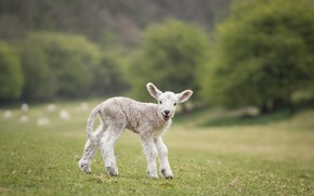 Picture field, white, nature, green, background, baby, cute, lamb, sheep, sheep, lamb