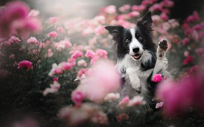 Picture face, flowers, roses, dog, paws, The border collie, rose bushes